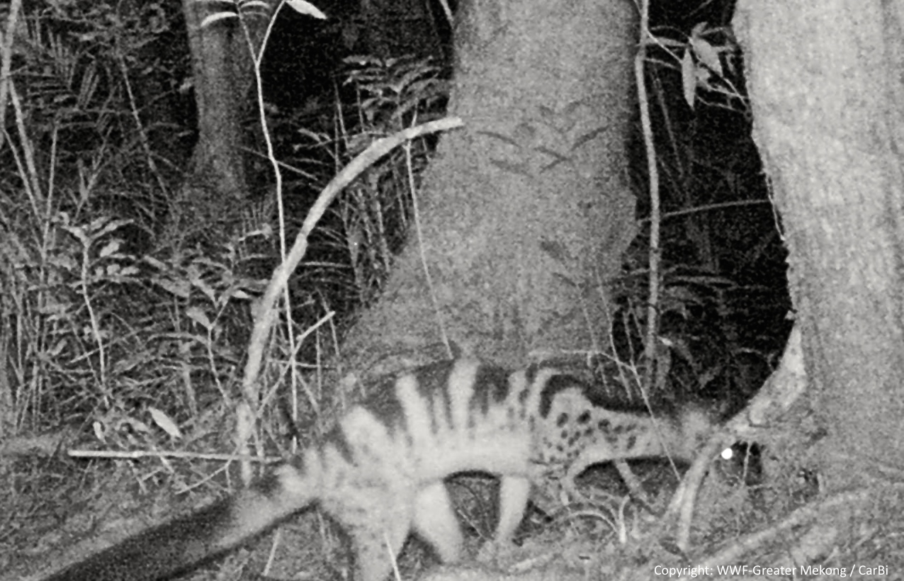 The Owston's civet has been locally wiped out from most of its historical range, scientists say. Photo credit WWF-CarBi