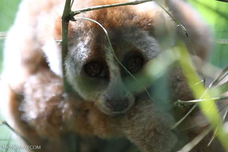 Slow loris, photo by Rhett Butler.