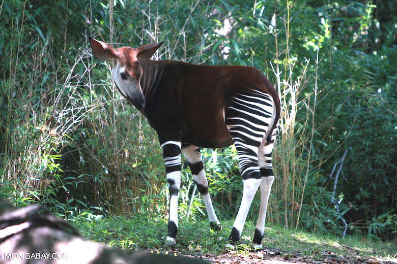 "Okapis, or ""forest giraffes,"" were unknown to the western world until the twentieth century. They are only found in the forests of the DRC. Photo by Rhett A. Butler."