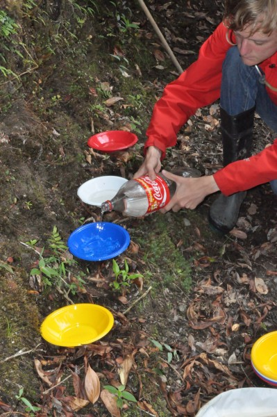 Student setting out a colored pan trap line. Insects are attracted to different colors so we sample different flying insects in soapy water. Photo by Caroline Chaboo.