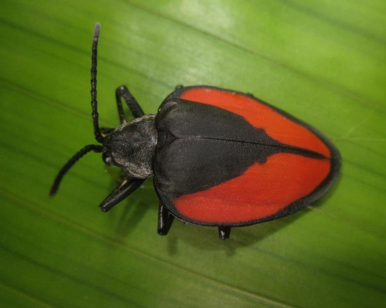 Pseudocalaspidea: Very little is known about this spectacular leaf beetle from ACA Villa Carmen Biological station. Photo by Caroline Chaboo.