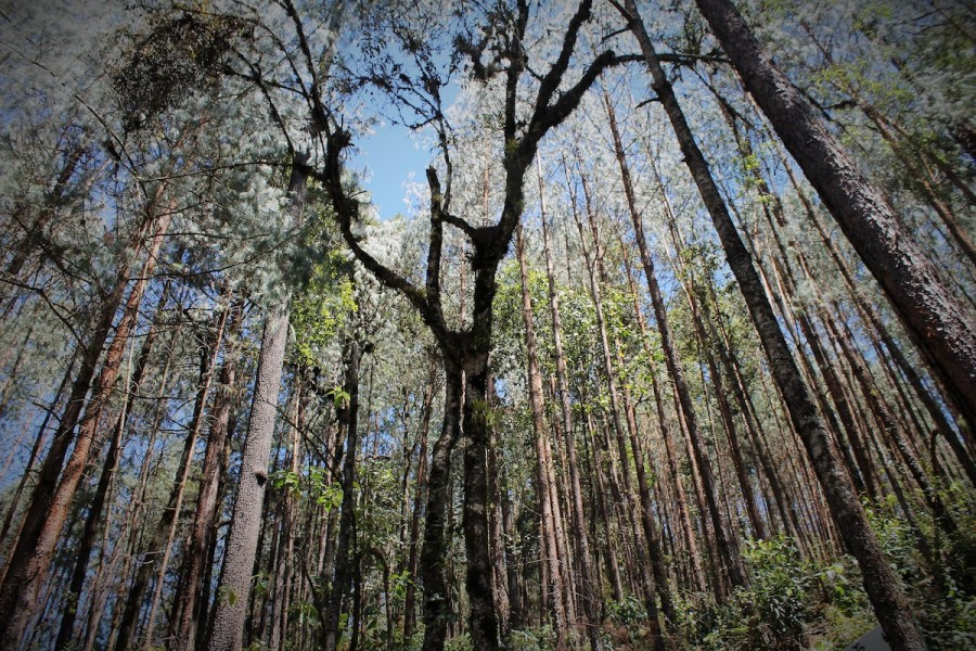 Capulálpam's pine forest, which is in an area concessioned for silver and gold mining. Photo by Martha Pskowski.
