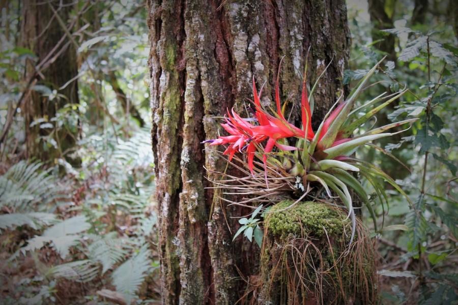 A bromeliad in Capulálpam's protected area. Photo by Martha Pskowski.