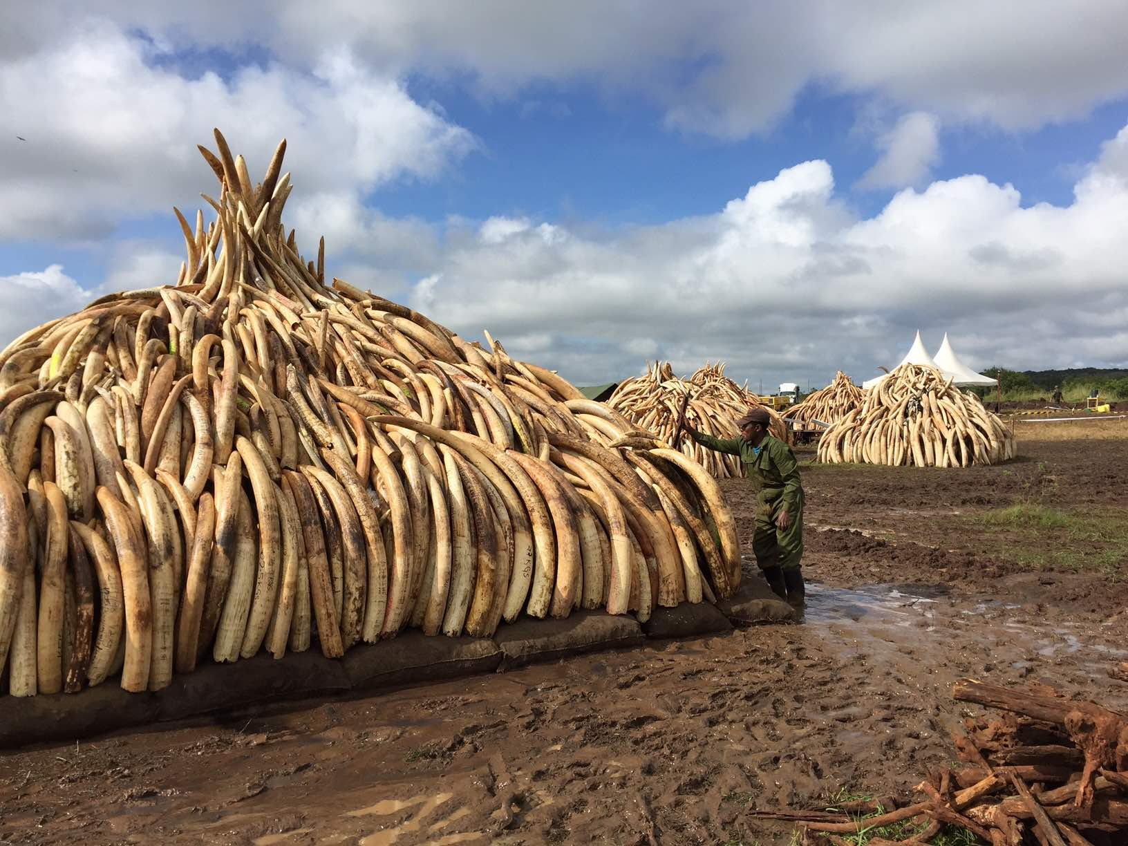 More than 105 metric tons of ivory will be set on fire tomorrow. Photo courtesy of Wild Aid.