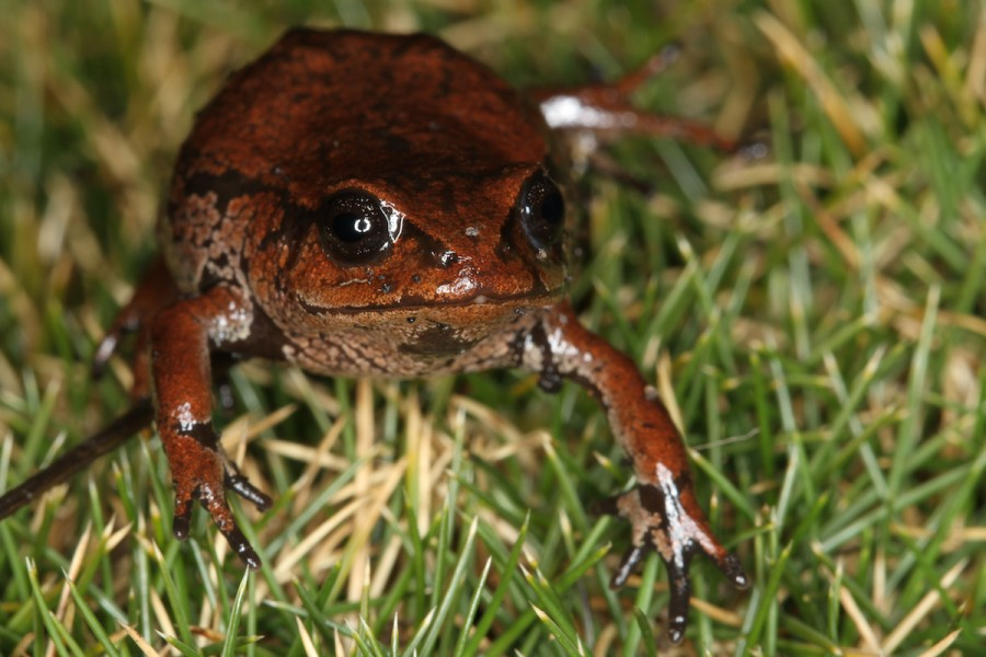 One of the recently discovered frog species (Psychrophrynella). Photo by Mileniusz Spanowicz / WCS.