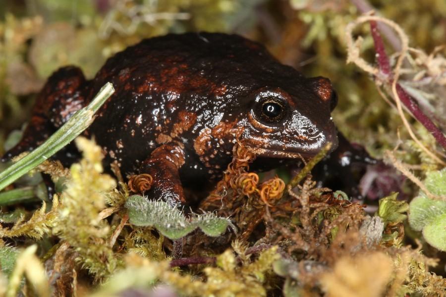 Another new Psychrophrynella species. Photo by Mileniusz Spanowicz / WCS.