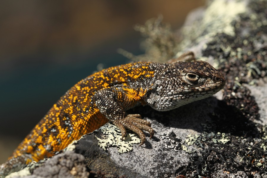 The new Liolaemus lizard is so well evolved to the frigid heights of the Andes, that it can live near glaciers. Photo by Mileniusz Spanowicz / WCS.
