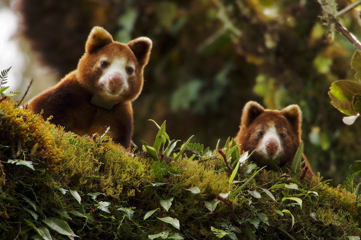 7 conservationists win the green oscars huon tree kangaroo dendrolagus matschiei female and joey peer over branch endangered species sciox Images