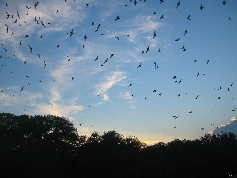 Insect-eating Brazilian Free-Tailed bats (Tadarida brasiliensis) provide a great pest-control service to agriculture and natural ecosystems. Photo by Paul Cryan, USGS.