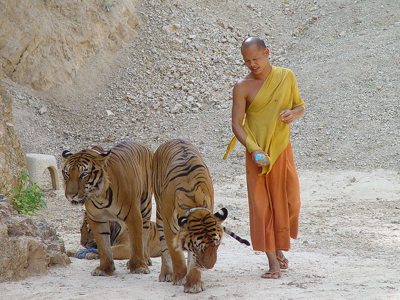 Last Tuesday, Thailand's Department of National Parks granted the controversial tiger temple a license to operate a zoo, angering several activists and conservationists. Photo by Michael Janich, CC By-SA 3.0 Wikimedia Commons.