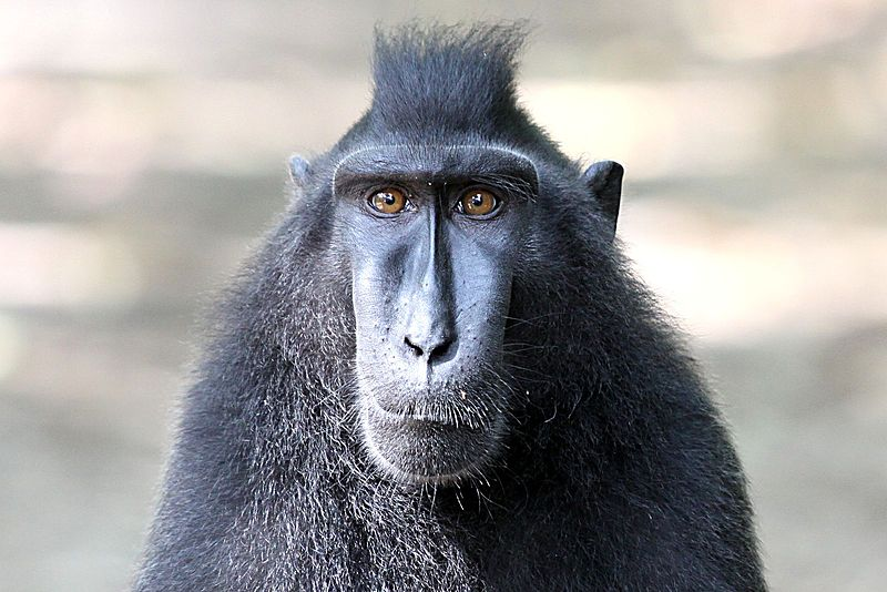 A Celebes crested macaque in northern Sulawesi. The island is a biodiversity hotspot due its high number of endemic plants and animals. Photo by Henrik Ishihara/Wikimedia Commons