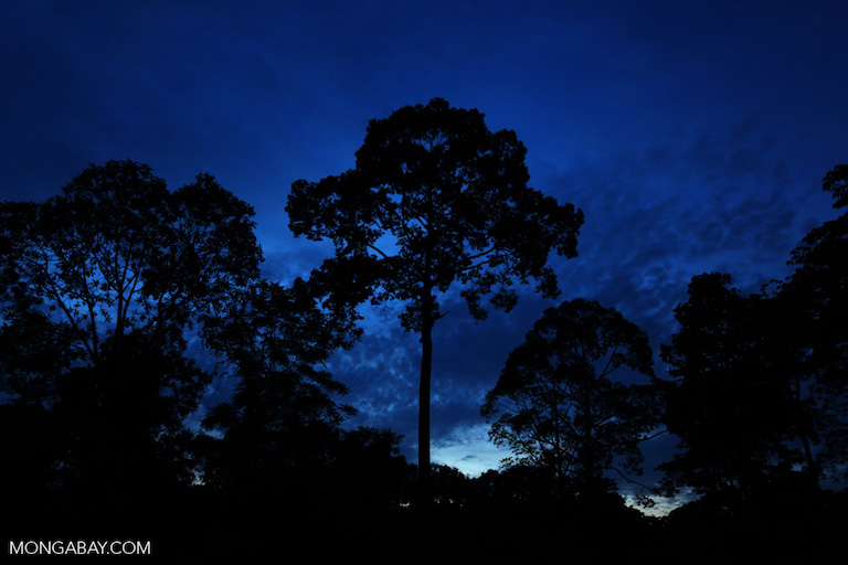 Tropical rainforest at twilight in Sabah, Malaysian Borneo. Photo by Rhett A. Butler.