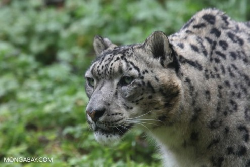 Captive snow leopard. Photo by Rhett A. Butler.