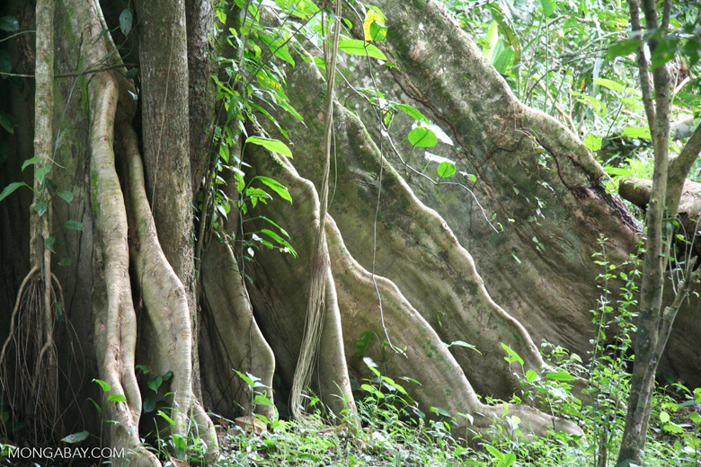 Buttress roots provide support for an Amazon rainforest tree in Colombia. Photo by Rhett A. Butler.