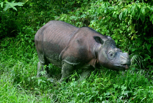 Tam, a captive Critically Endangered Bornean rhino (Dicerorhinus sumatrensis harrissoni). Photo by Jeremy Hance.