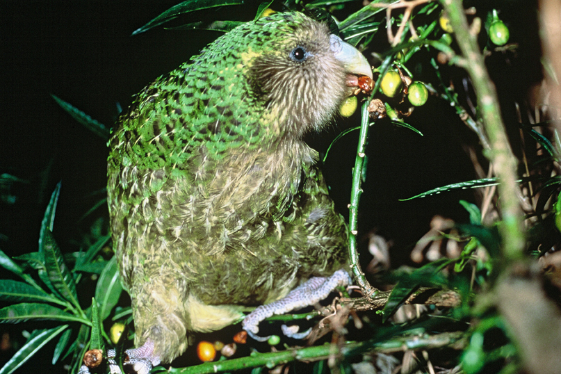 "Kakapo Strigops habroptila ""Trevor"" feeding on ripe poroporo fruit. Maud Island, New Zealand. Photo: Don Merton, 2001. CC by 2.0"