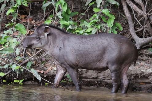 South_American_tapir_(Tapirus_terrestris)