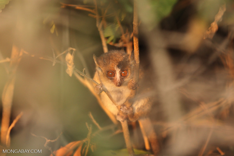 Golden Brown Mouse Lemur (Microcebus ravelobensis) in Madagascar. Photo by Rhett Butler.