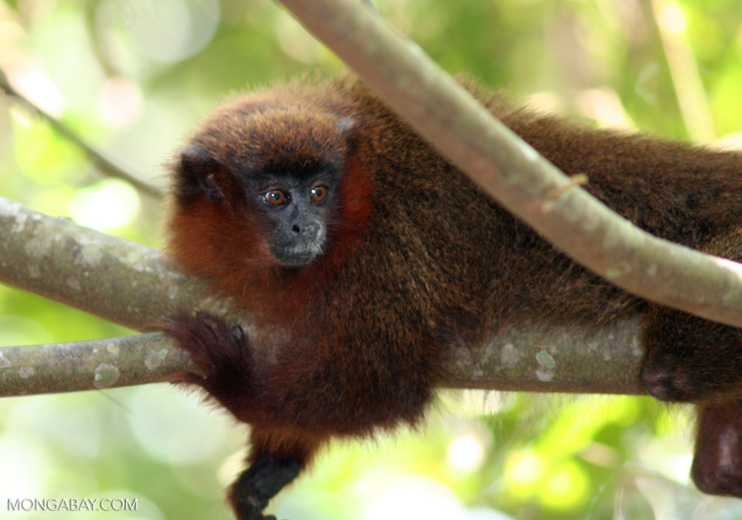 Dusty Titi Monkey (Callicebus spp.) in Peru. Photo by Rhett Butler.