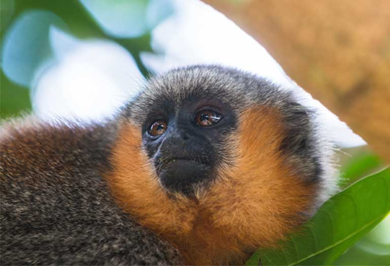 A titi monkey in the Munduruku's Sawré Muybu territory on the banks of the Tapajós. Primates, birds, mammals and fish will all feel the impact of hydropower development if terrestrial and aquatic habitats are destroyed and degraded, and aquatic migration routes are disrupted by the dams. Photo © Valdemir Cunha / Greenpeace