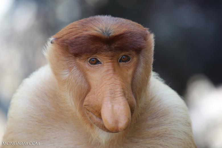 Male proboscis monkey in Sabah, Malaysia. Photo by Rhett A. Butler.