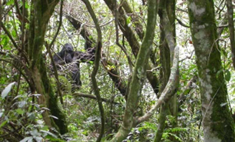 A mountain gorilla blends in with its surroundings in Bwindi Impenetrable National Forest. Photo courtesy of Gladys Kalema-Zikukosa/CTPH