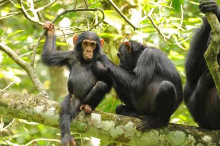 Chimpanzee populations have remained relatively stable in protected areas but have declined outside of parks as forests have been cleared. Photo by A. Plumptre/WCS