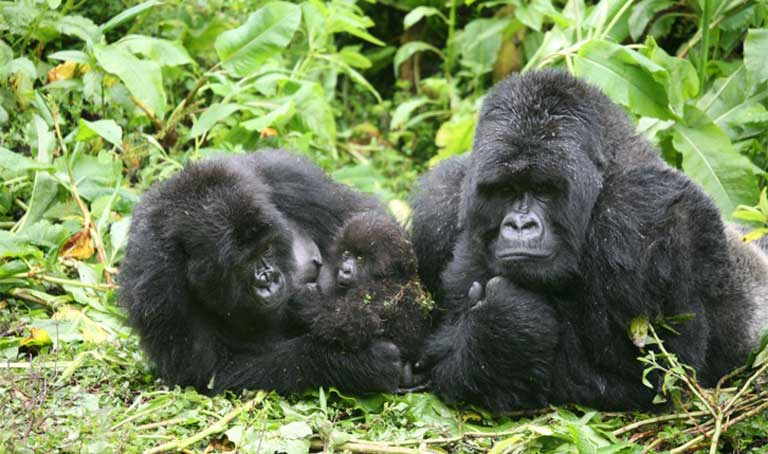 A silverback male gorilla along with an adult female and offspring. Photo by Martha M. Robbins, MPI-EVAN