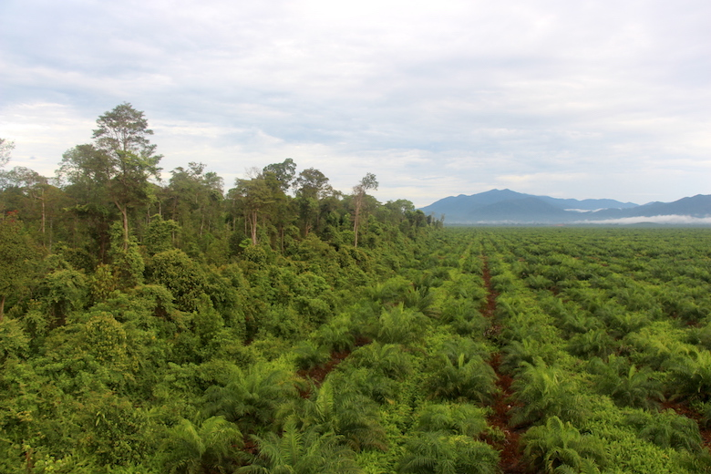 "One of PT Kayung Agro Lestari's ""high conservation value"" forests (left) is separated from the rest of the oil-palm plantation by a short moat. The plantation is within sight of the mountains of Gunung Palung National Park."