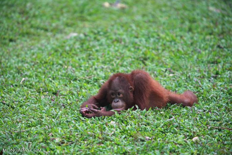 Small orangutan contemplates life, in Kalimantan. Photo by Rhett A. Butler.