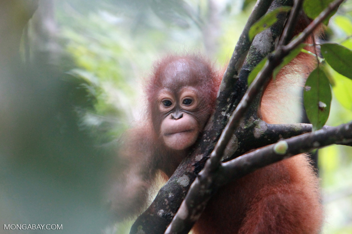 Young orangutan in a tree, in Kalimantan. Photo by Rhett A. Butler.