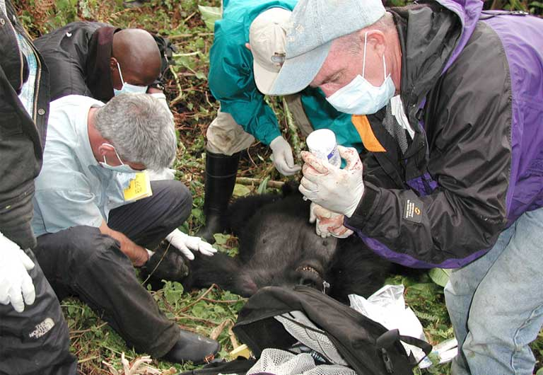 Gorilla Doctor Mike Cranfield and his health care team perform a medical intervention on a mountain gorilla in the field. Photo courtesy of the Gorilla Doctors and UC Davis Wildlife Health Center