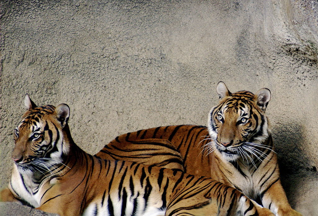 Two Indochinese tigers at Cincinnati Zoo. Photo by Kabir Bakie, Wikimedia Commons, CC By-SA 2.5.