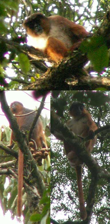 Preuss's red colobus monkey is among the world's most endangered primates, and is threatened by poaching in Korup National Park, Cameroon, an important stronghold for the species. Image by Astaras [Attribution], via Wikimedia Commons