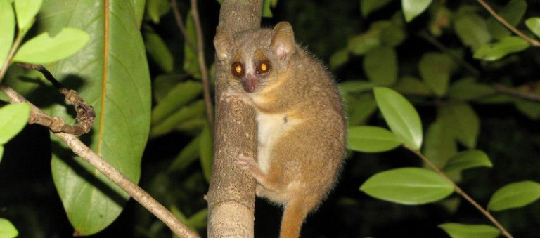 Microcebus ganzhorni is named in honor of the Hamburg ecologist Prof. Jörg Ganzhorn who has worked on ecology and conservation in Madagascar for more than 30 years. Photo by G. Donati.