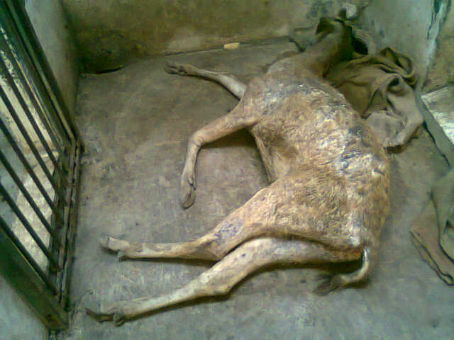 A dead Javan rusa at the Surabaya Zoo is shown in 2014. Photo by Petrus Riski/Mongabay