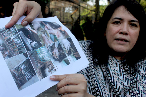 Aschta Tajudin shows photos of the dead tiger. Photo courtesy of the Surabaya Zoo
