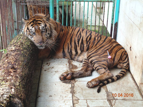 Rama a day before his death. Photo courtesy of the Surabaya Zoo
