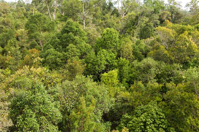 The Sabangau Forest, Indonesia. Life in the treetops helps protect gibbons and other primates from predators, but it also conceals them well from researchers. (C) OuTrop-Harrington Photography