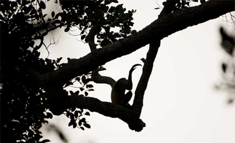 A gibbon silhouetted against the sky in Sabangau Forest, Indonesia. (C) OuTrop-Harrington Photography
