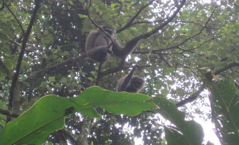 Wild Javan Gibbons in West Java. Gibbons have long been neglected by researchers, but are in urgent need of study due to their shrinking habitat and other human pressures. Photo by Jaima Smith