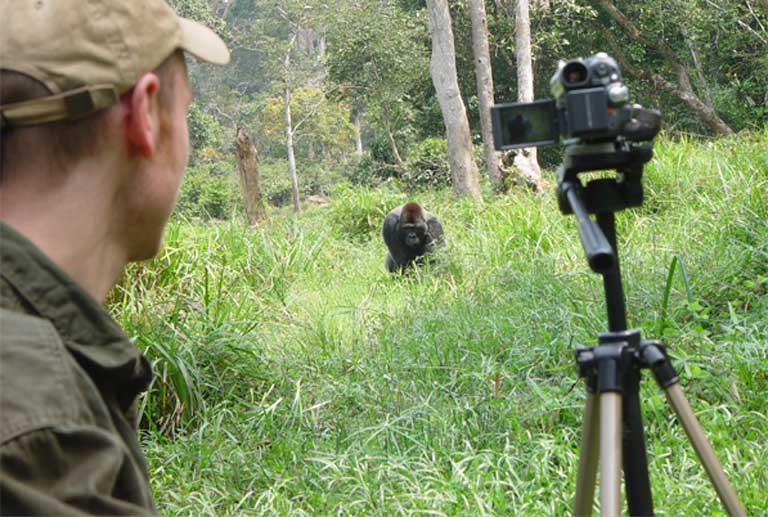 Gorilla observation in Bai Hokou, Central African Republic. It takes many years of close observation to build up a strong primate population database. Photo courtesy of A.P.E.S. Database