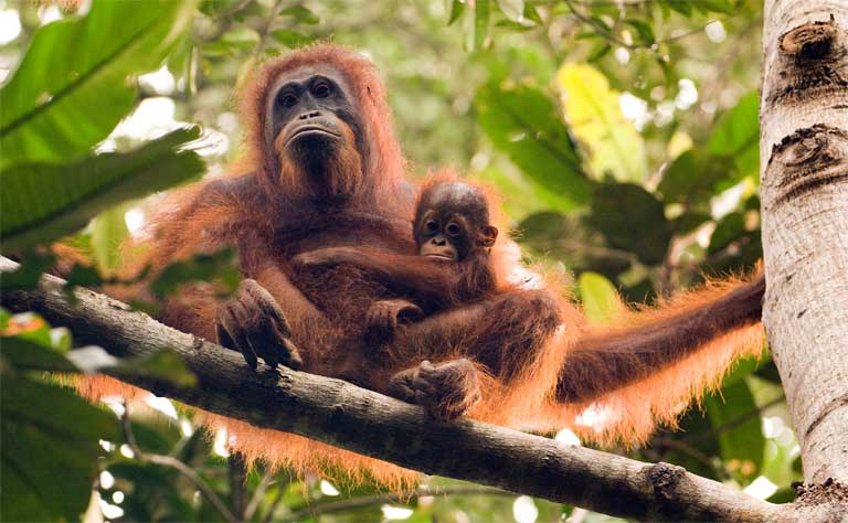 Orangutan female and infant in Sabangau Forest, Indonesia. (C) OuTrop Harrington Photography