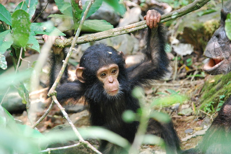 A young Gombe chimpanzee. Photo by Roland licensed under the Creative Commons Attribution-Share Alike 2.0 Generic license