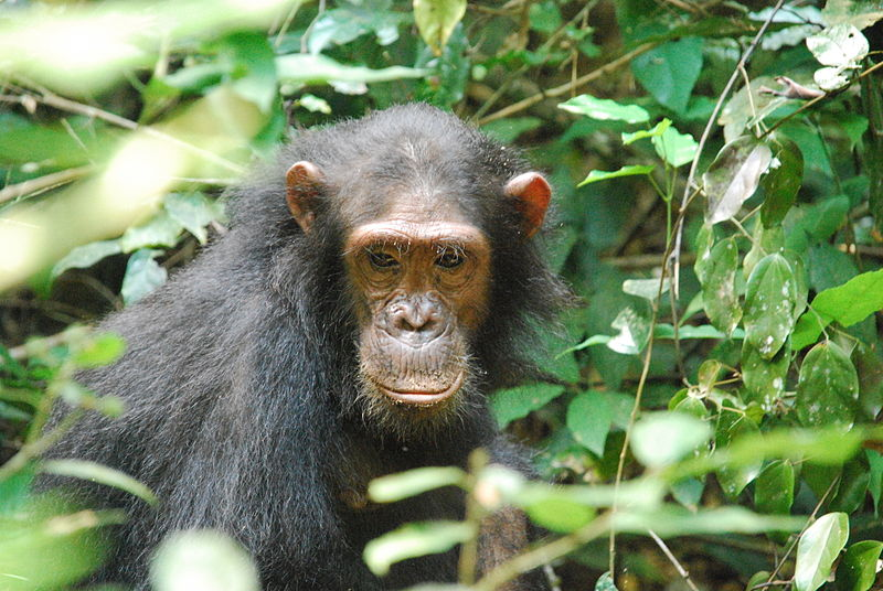 One of the Gombe chimps. Gombe possesses the most detailed great ape dataset in the world, and yet some details concerning population fluctuations are still unknonw. Photo by Roland licensed under the Creative Commons Attribution-Share Alike 2.0 Generic license