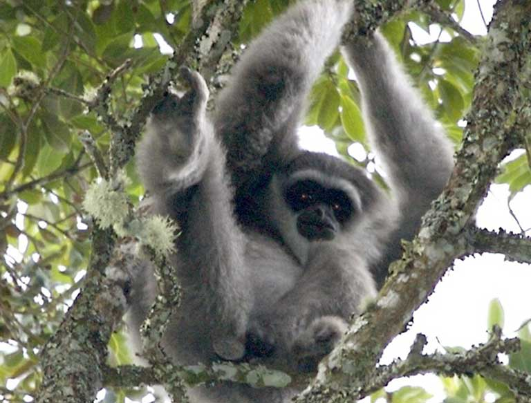A Silvery gibbon in Gunong Gede, Java, Indonesia. Photo by Lip Kee licensed under the Creative Commons Attribution-Share Alike 2.0 generic license