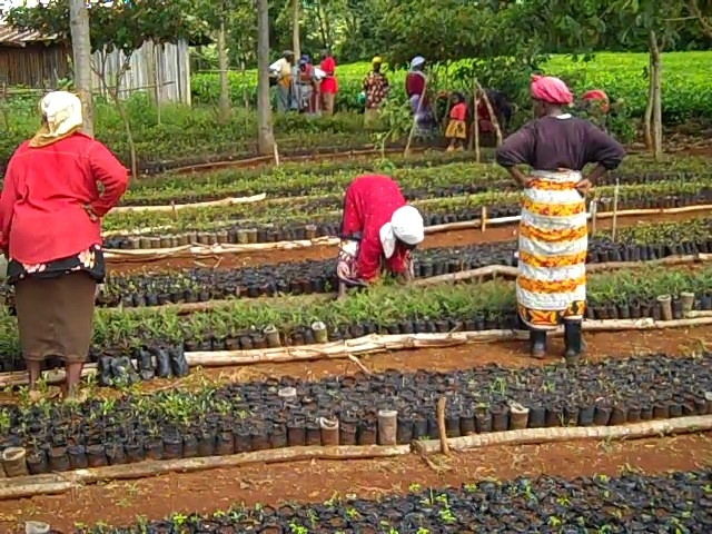 Weeding seedlings at community tree nursery