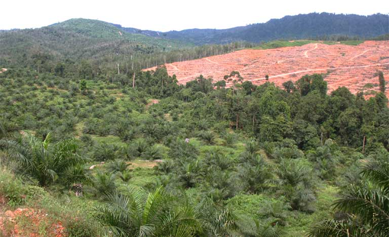 A riparian reserve established in the oil palm landscape at the SAFE project in Sabah. Photo by Matt Struebig, DICE-University of Kent