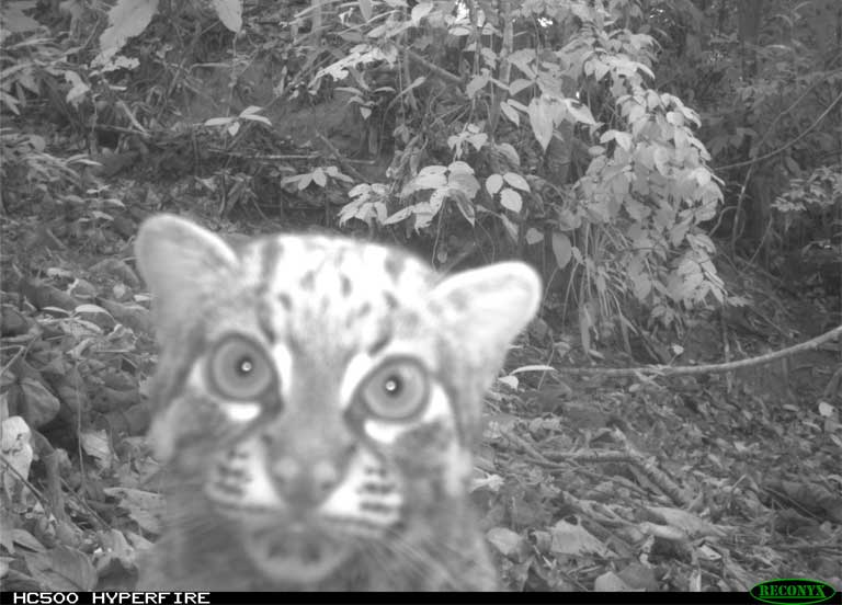 Marbled cats have been photographed in riparian areas at SAFE. Photo by Esther Baking, Universiti Malaysia Sabah and Nick Deere, DICE University of Kent