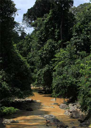Scientists say that in Sabah, riparian vegetation should be retained alongside rivers more than 3 meters wide to provide cover and facilitate wildlife movement. Photo by Matt Struebig, DICE-University of Kent